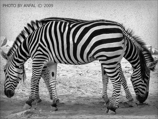 zebraillusion