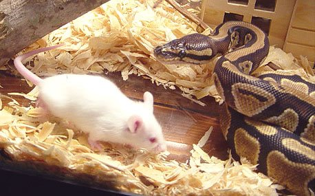 pythonmouse